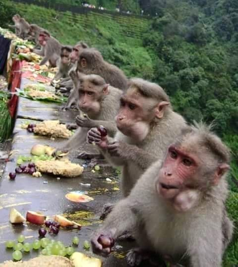 Monkeys enjoy an Onam feast - (Photo via FB - Seenivasan Narayanasamy)