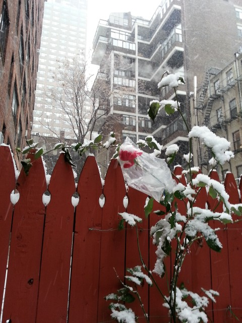 A plastic snowcoat for the rose